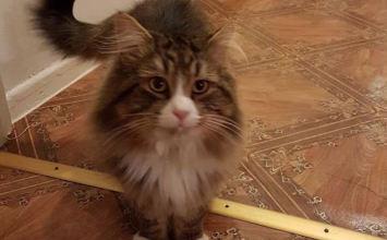 MISSING: Boby the cat from Foleshill, £200 reward on offer